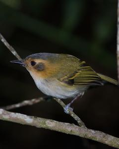 Ochre-faced Tody-Flycatcher