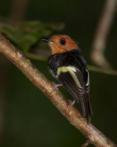 Black-chested Tyrant
