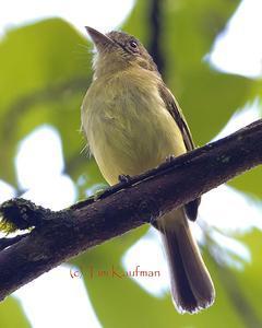 Orange-eyed Flycatcher