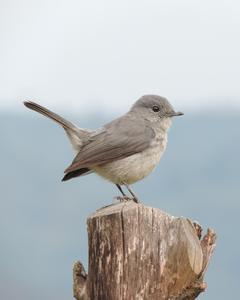 Gray/Dusky Flycatcher