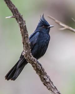 Crested Black-Tyrant
