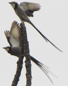 Streamer-tailed Tyrant