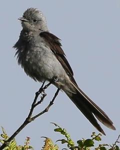Shear-tailed Gray Tyrant