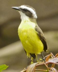 White-ringed Flycatcher