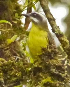 Golden-bellied Flycatcher