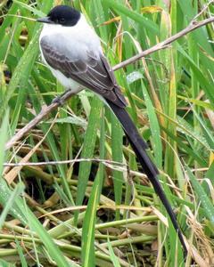 Fork-tailed Flycatcher (monachus)