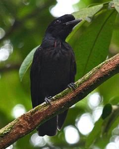 Bare-necked Umbrellabird