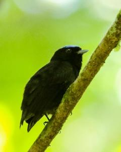 Blue-crowned Manakin (Velvety)