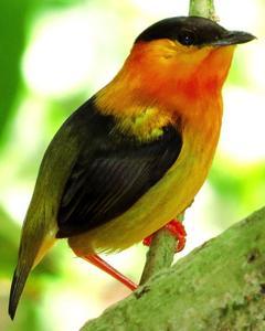 Orange-collared Manakin