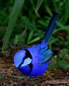 Splendid Fairywren