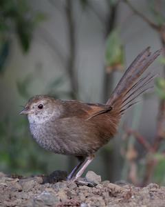 Eastern Bristlebird