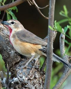 Rosy-patched Bushshrike