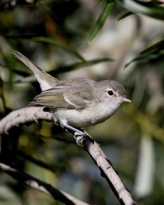 Bell's Vireo (Least)