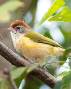 Gray-eyed Greenlet