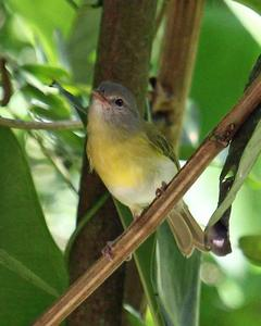 Ashy-headed Greenlet