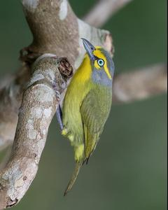 Slaty-capped Shrike-Vireo