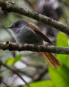 Mascarene Paradise-Flycatcher