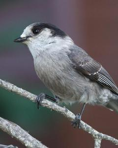 Canada Jay (Pacific)