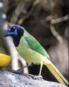 Green Jay (Green)