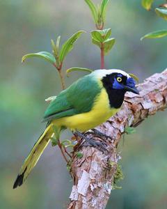Green Jay (Inca)
