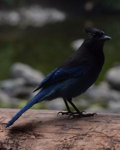 Steller's Jay