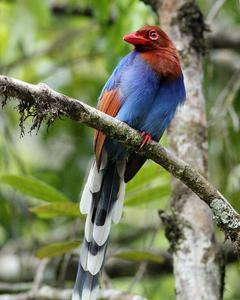 Sri Lanka Blue-Magpie