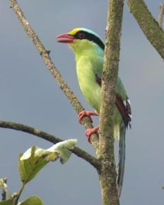 Common Green-Magpie