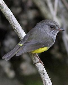 Yellow-bellied Robin