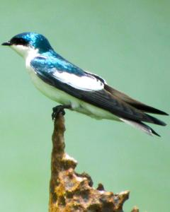 White-winged Swallow