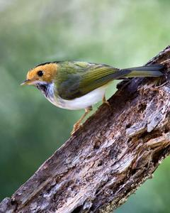 Rufous-faced Warbler