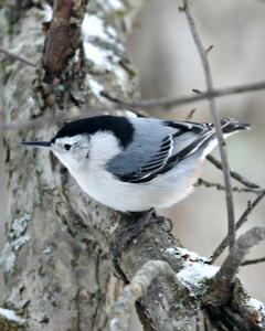 White-breasted Nuthatch (Eastern)