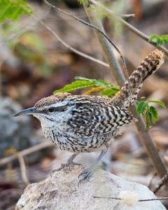 Yucatan Wren