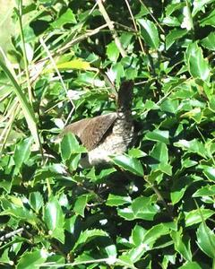 House Wren (Northern)