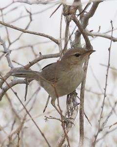 Subdesert Brush-Warbler