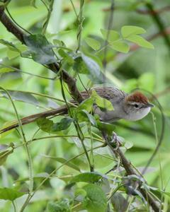Tawny/Papuan Grassbird
