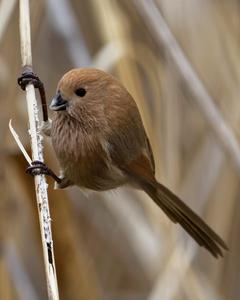 Vinous-throated Parrotbill