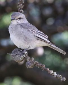 Grayish Flycatcher