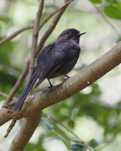 Northern Black-Flycatcher