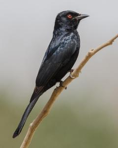 Northern Black-Flycatcher