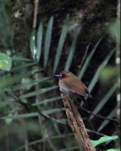Eyebrowed Jungle-Flycatcher