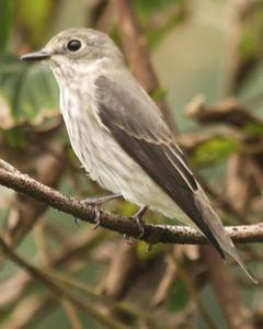 Gray-streaked Flycatcher