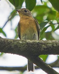Mugimaki Flycatcher