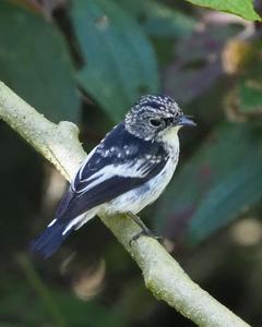 Little Pied Flycatcher