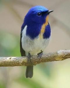 Sapphire Flycatcher