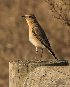 Northern Wheatear (Greenland)