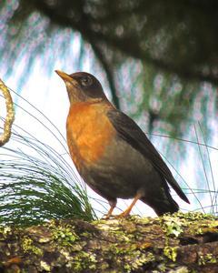 Rufous-collared Robin