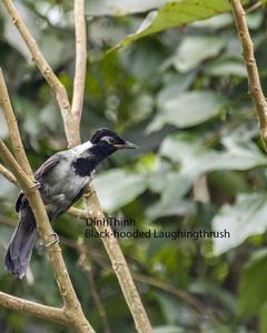 Black-hooded Laughingthrush
