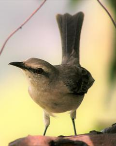 Tropical Mockingbird (Tropical)