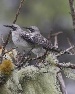 San Cristobal Mockingbird