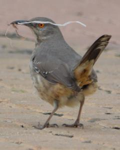 Curve-billed Thrasher (curvirostre Group)